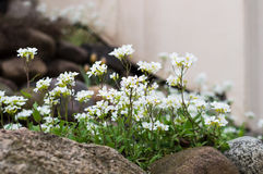 Alpine Rockcress. Alpine hill with spring flowers. Stock Image