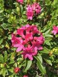 Alpine Rose Lizenzfreie Stockbilder
