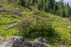 Alpine rose bush in the Alps, Austria.  royalty free stock photo