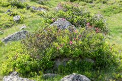 Alpine rose bush in the Alps, Austria.  stock photos