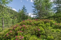 Alpine rose bush in the Alps, Austria.  royalty free stock images