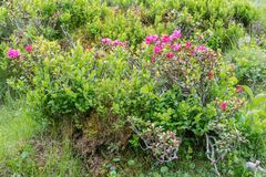 Alpine rose bush in the Alps, Austria.  royalty free stock photography