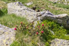 Mountain stream in the Alps, AustriaAlpine rose bush in the Alps, Austria. Alpine rose bush in the Alps, Austria stock photography