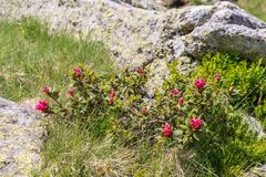 Mountain stream in the Alps, AustriaAlpine rose bush in the Alps, Austria. Alpine rose bush in the Alps, Austria royalty free stock image