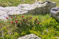 Mountain stream in the Alps, AustriaAlpine rose bush in the Alps, Austria. Alpine rose bush in the Alps, Austria stock photos