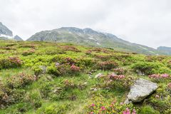 Alpine rose bush and mist in a valley in the Alps, Austria.  royalty free stock photography