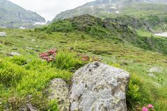 Alpine rose bush and mist in a valley in the Alps, Austria.  stock photo