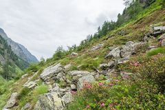 Alpine rose bush and mist in a valley in the Alps, Austria.  royalty free stock image