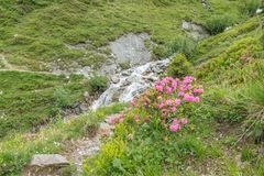 Alpine rose bush and mist in a valley in the Alps, Austria.  stock image
