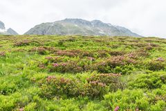 Alpine rose bush and mist in a valley in the Alps, Austria.  royalty free stock photo