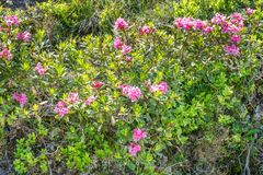 Alpine rose bush in a valley in the Alps, Austria.  stock photo