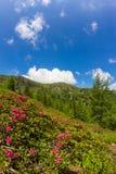 Alpine Rose on Mt. Mirnock Stock Images