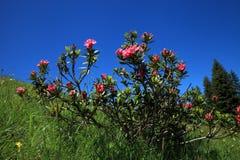 Alpine rose Stock Photography