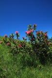 Alpine rose Stock Image