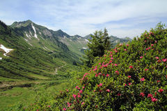 The alpine roses Stock Images