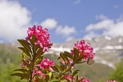 Alpine roses bloom in the mountains. In June, a red sea of flowers of alpine roses covers the mountain slopes of many Alpine peaks royalty free stock image