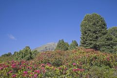 Alpine roses bloom in the Stubai Alps. In the months of June and July, the mountain slopes of the Stubai Alps are covered by a red sea of flowers of alpine rose royalty free stock photos