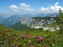 Alpine Roses in the Chartreuse. An aerial view from the top of the Petit Som, a mountain in the Chartreuse (france) with some blossoming alpine roses in the royalty free stock image