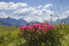 Alpine roses. On a high mountain meadow in the Karwendel mountains stock photo