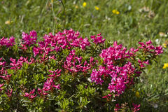 Alpine roses. On a high mountain meadow in the Karwendel mountains royalty free stock photo