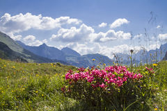 Alpine roses. On a high mountain meadow in the Karwendel mountains stock photography