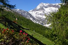 Alpine roses and montain \Hohe Wilde\ Stock Photos