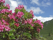 Alpine roses in the mountains. Alpine roses on a high mountain meadow in the Karwendel mountains stock image