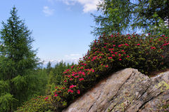 Alpine Roses On A Rock Royalty Free Stock Photos