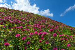 Alpine roses on a slope Royalty Free Stock Photos