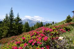 Alpine roses and snow-capped mountains Royalty Free Stock Photo