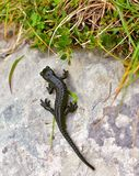 Alpine salamander Critically endangered animals. The alpine salamander Salamandra atra on the stone, high in the mountains. Is a shiny black small animal Royalty Free Stock Photo