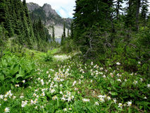 Alpine Scene with Avalanche Lilies Stock Images