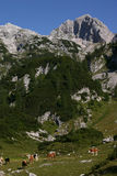 Alpine scene with cows. Triglav National Park welcomes cows and heifers in the summer time on the highland pastures Royalty Free Stock Photo