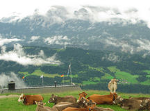 Alpine scene. Cows rest before a misty Alpine mountain scene Royalty Free Stock Photography