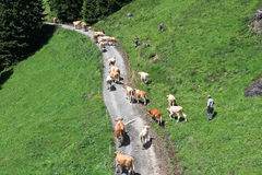 Shepherds drive herd of cows, Grindelwald - Switzerland Stock Photography