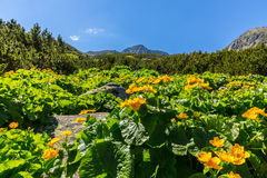 Alpine scenery in the summer, in the Transylvanian Alps, with yellow flowers Stock Images