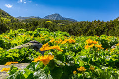 Alpine scenery in the summer, in the Transylvanian Alps, with yellow flowers Royalty Free Stock Images