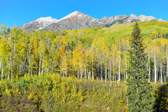 Alpine scenery of yellow and green aspen and snow covered mountains during foliage season Royalty Free Stock Photo