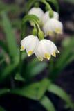 Alpine Schneeglöckchen - Waldfrühlingsblumen, unscharfer Hintergrund Stockbild
