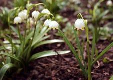 Alpine Schneeglöckchen - Waldfrühlingsblumen, unscharfer Hintergrund Stockfotos