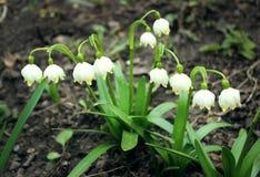 Alpine Schneeglöckchen - Waldfrühlingsblumen, unscharfer Hintergrund Stockfotografie