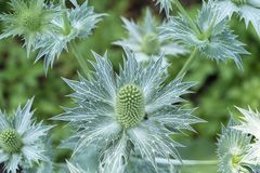 Alpine Sea Holly In Horticulture Stock Images