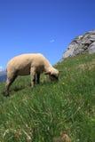 Alpine sheep Royalty Free Stock Image