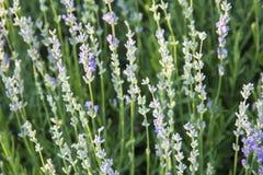 Alpine slide, lavender flowers Royalty Free Stock Images