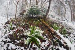 Alpine snow flowers Royalty Free Stock Image