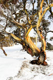 Alpine 'Snow Gum' in Australia's Snowy Mountains region. During winter snowfall royalty free stock photos
