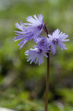 Alpine Snowbell - Soldanella alpina Royalty Free Stock Photos