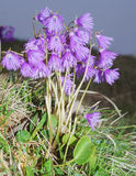 Alpine Snowbell - Soldanella alpina Stock Photography