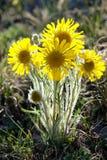 Alpine Sonnenblume hintergrundbeleuchtet Stockbilder