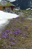 Alpine springtime. Crocus flowers and resque mountaon cabin royalty free stock images